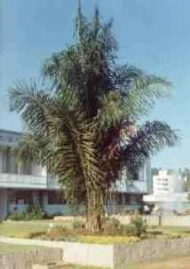 Palmeira Indaiá