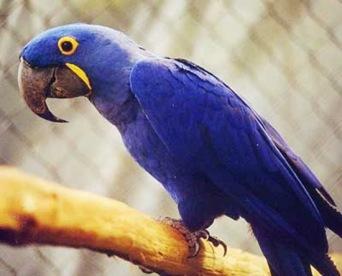 Ararinha-Azul