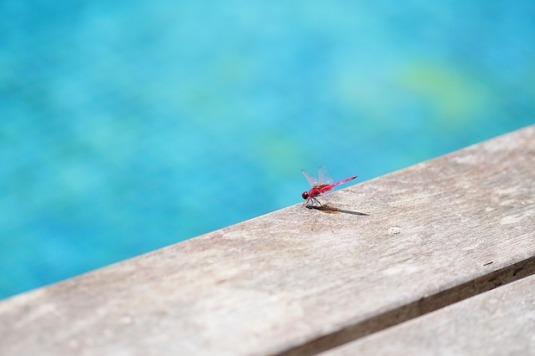 pixabay com dragonfly-382238_640