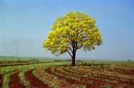Ipê-Amarelo, a árvore-símbolo do Brasil.