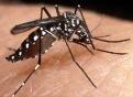 Aedes aegypti. Mosquito