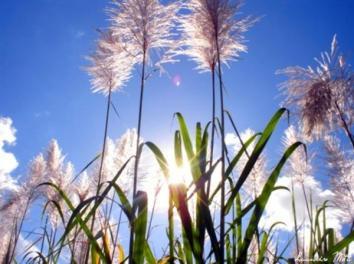Flor da cana.